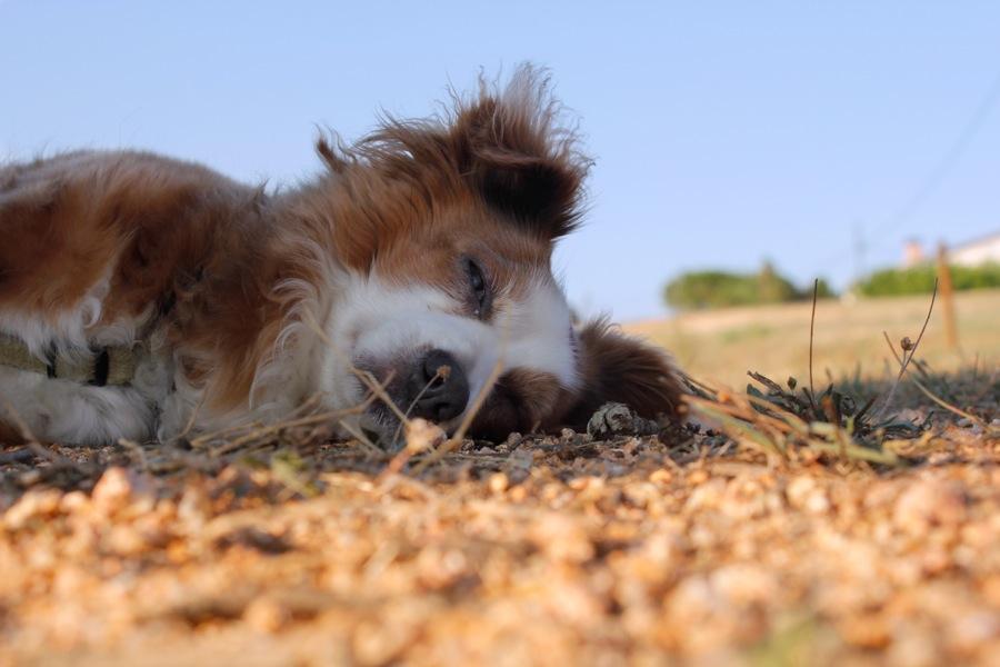 gerona-perro-trufa